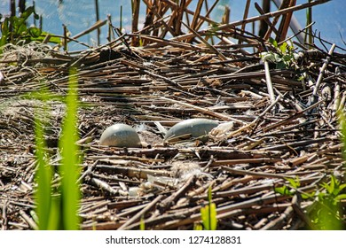 Unattended swan eggs - The parents are just looking for food