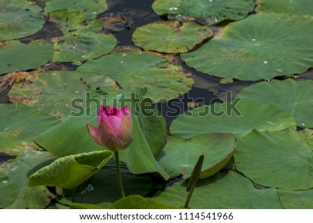 Unbloomed Lotus Bud Flower Natural Lake Stock Photo Edit Now