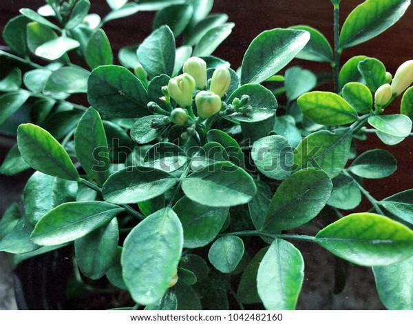 unblown flower, bud of jasmine on the windowstill