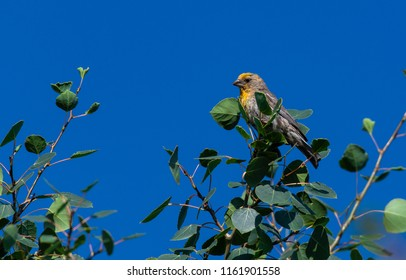 An Uncommon Yellow Variant House Finch