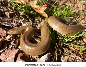 An uncommonly seen mountain dwelling snake, Rubber boa, Charina bottae