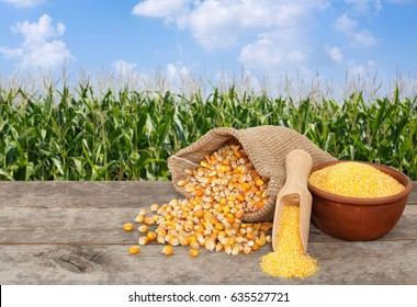 uncooked corn seeds in bag and cornmeal in bowl with scoop on wooden table with green field on the background. Agriculture and harvest concept