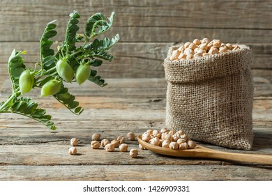 Uncooked dried chickpeas in burlap sack with raw green chickpea pod plant on wooden table. Heap of legume chickpea background