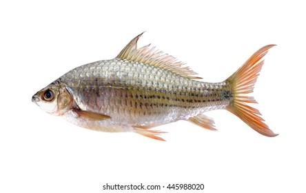 uncooked Labiobarbus siamensis fish on white background