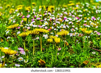uncultivated flowering field with tall grass dandelions and daisies flowers