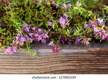 Uncultivated flowering thyme is used in cooking, medicine and perfumery.