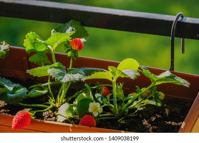 Uncultivated home bred fresh strawberries in the pot on the branches close up view in summer sun light