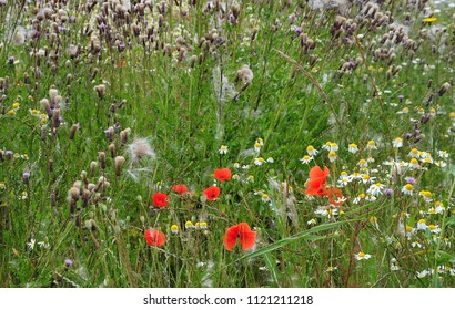 uncultivated meadow in summer with high grown grass, wilted thistles, chamomile flowers and red poppies