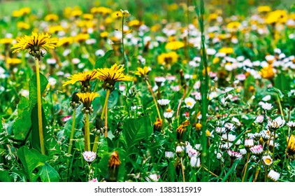 uncultivated multicolored flowering field with tall grass and dandelions and daisies flowers