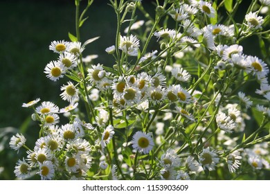 Uncultivated wild daisies in the meadow in the sunlight