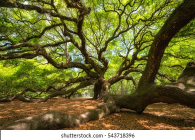 Under the Angel Oak Tree