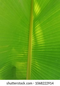 Under the banana leaf. Green blackground. Natural background from banana leaf. Banana leaf have a lot of benefit can use to made a dish, bowl etc. Banana is a famous plant in asia.