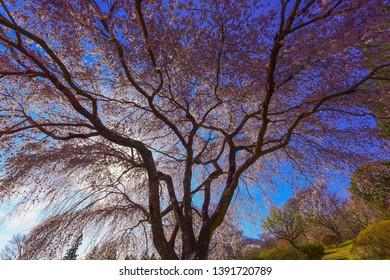 Under the Beautiful Cherry Tree