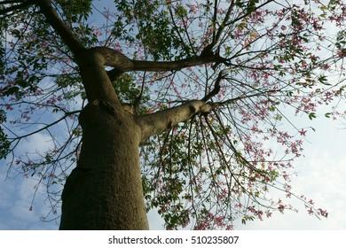 under the blossom tree of Ceiba speciosa - Shutterstock ID 510235807