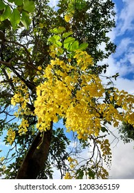 under the cassia fistula flowers with sun light in the afternoon