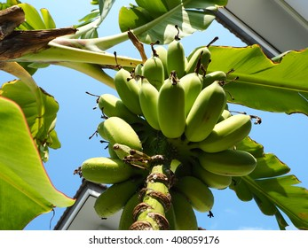 Under Cultivated banana and Banana leaves