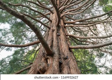Under giant oak tree, New Zealand natural forest background
