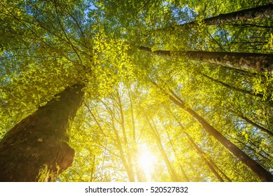 Under the high treetops, looking up at sunbeam - low angle view of tall trees in deciduous forest