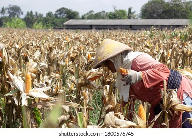 Under the hot sun, farmers in Sleman, Yogyakarta, Indonesia, Sunday (17/11/2019). Harvesting corn that is ready to be harvested.