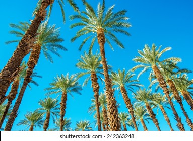 Under the Palms in Coachella Valley California. Palms and the Blue Sky.