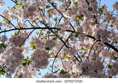 from under pink Toyko Cherry blooms tree under a blue sky