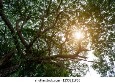 Under Rain tree or East indian walnut background with sunlight. (Scientific name Samanea saman)