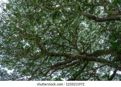 Under Rain tree or East indian walnut background. (Scientific name Samanea saman).
