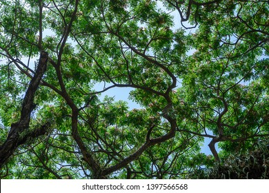 Under Rain tree or East indian walnut background. (Scientific name Samanea saman).