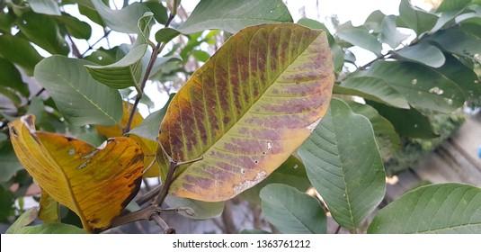 Under severe nutrient deficiency of Phosphorus purpling of leaves seen in Guava plant.