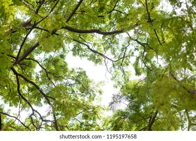 Under shade of giant tree from bottom view. can be use to natural background