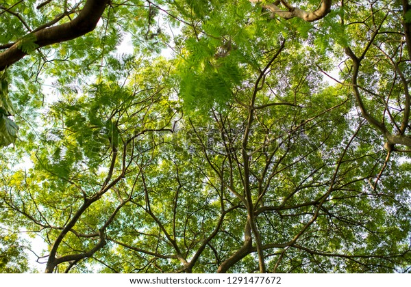 Under Shade Giant Tree Bottom View Stock Photo Edit Now
