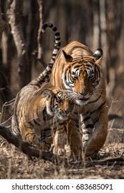 Under watchful eyes of biggest predator of indian jungles A Cuddling Moment shared between tiger mom and cub at ranthambore national park, rajasthan, india