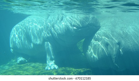 "Under water hippopotamus (Hippopotamus amphibius), or hippo, from the ancient Greek for ""river horse"" , is a large, mostly herbivorous mammal in sub-Saharan Africa."
