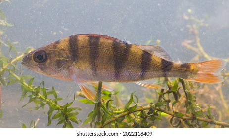 Under water image of Perca fluviatilis Perch fish together with Elodea aquatic plant with upper fin hanging down giving resulting in a sad image