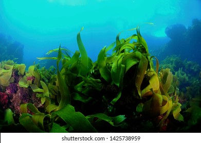 under water kelp forest photo