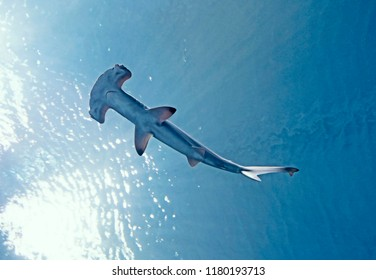 Under water view looking up from beneath a hammerhead shark through clear blue rippling water and with a bright white glow of sunlight coming through the surface of the water to the left of the shark