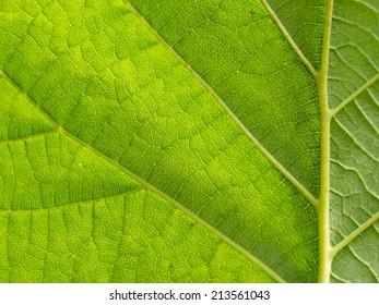 Underside of a big backlit green leaf