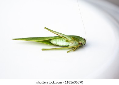 Underside of the Common True Katydid, Pterophylla camellifolia, in Michigan, USA