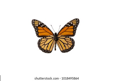 Underside of the magnificent monarch butterfly (Danaus plexippus)isolated on white background