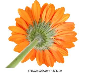 Underside of Orange Gerber Daisy Focus on Sepal. Shot in studio over white.