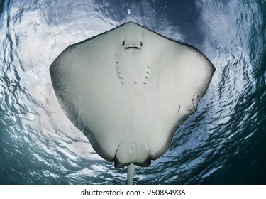 Underside of a Southern Stingray from the Bahamas.