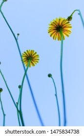 The underside of yellow dandelion flowers, buds and stalks against a blue sky background.