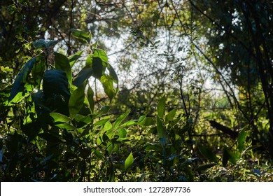 Under-story foliage glowing in the afternoon sunlight, in a sub-tropical food forest; on Goodwood Island, NSW, Australia.