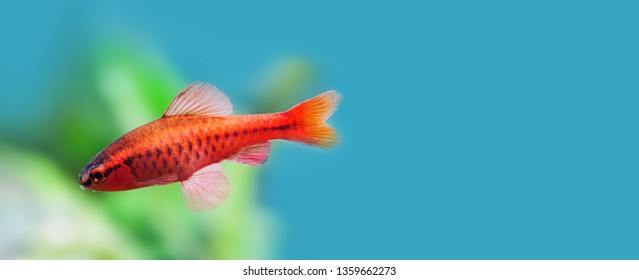 Underwater aquarium still life scene. Red color tropical fish Barb Puntius titteya swim on soft blue green background. Shallow depth of field. copy space.