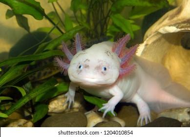 Underwater Axolotl portrait close up in an aquarium. Mexican walking fish. Ambystoma mexicanum.