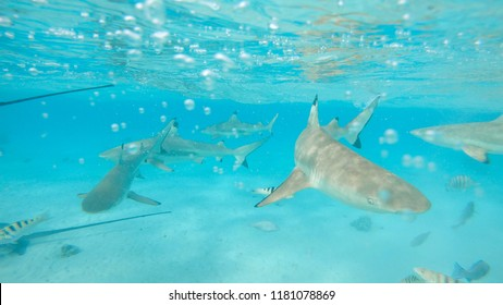UNDERWATER: Beautiful shot of blacktip sharks and big stingrays roaming the endless turquoise ocean. Sea rays and sharks swimming around the crystal clear water near white sand beach on exotic island.