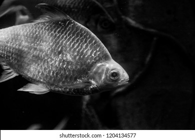 Underwater black and white fish with scales