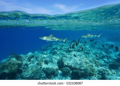 Underwater blacktip reef sharks with surgeonfish on the barrier reef and sky split by waterline, Rangiroa, Tuamotu, Pacific ocean, French Polynesia