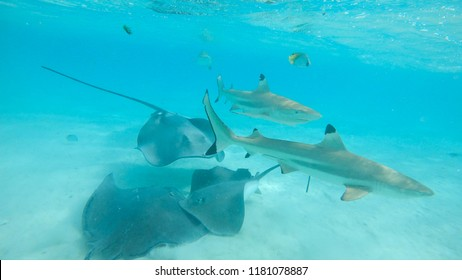 UNDERWATER: Blacktip sharks and stingrays swim around the beautiful exotic sea. Breathtaking view of the tropical wildlife occupying the turquoise ocean. Stunning shot of big sharks and sea rays.