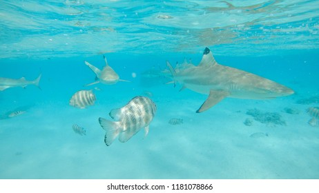 UNDERWATER: Blacktip sharks swim around the emerald sea with small tropical fish. Stunning shot of turquoise ocean close to a remote island full of exotic wildlife. Fish and friendly sharks coexisting